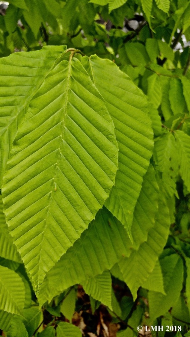 S16-BEECH LEAVES