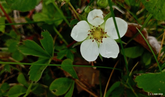 S18- WILD STRAWBERRY FLOWER