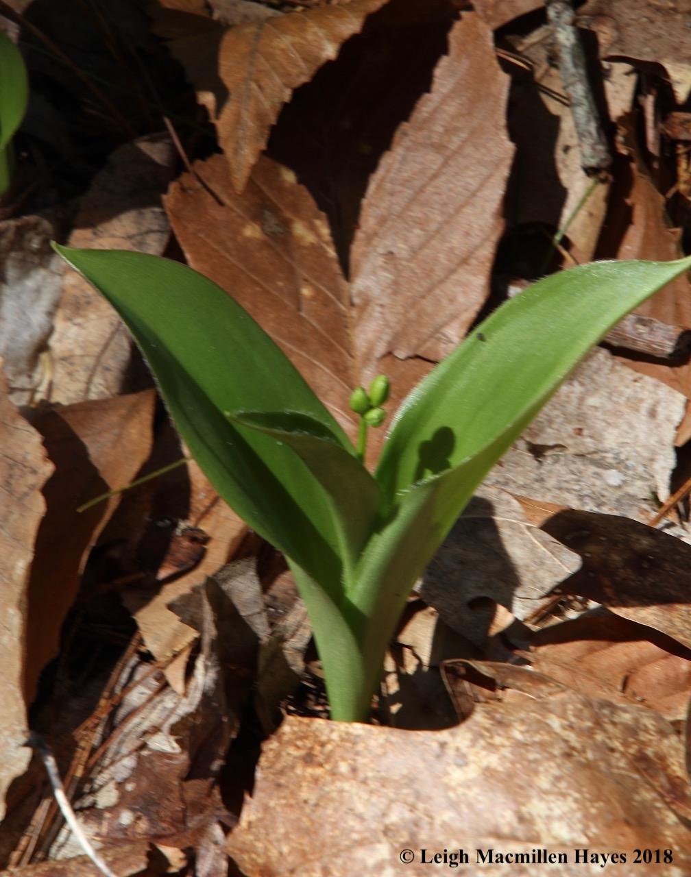 s3b-clintonia buds