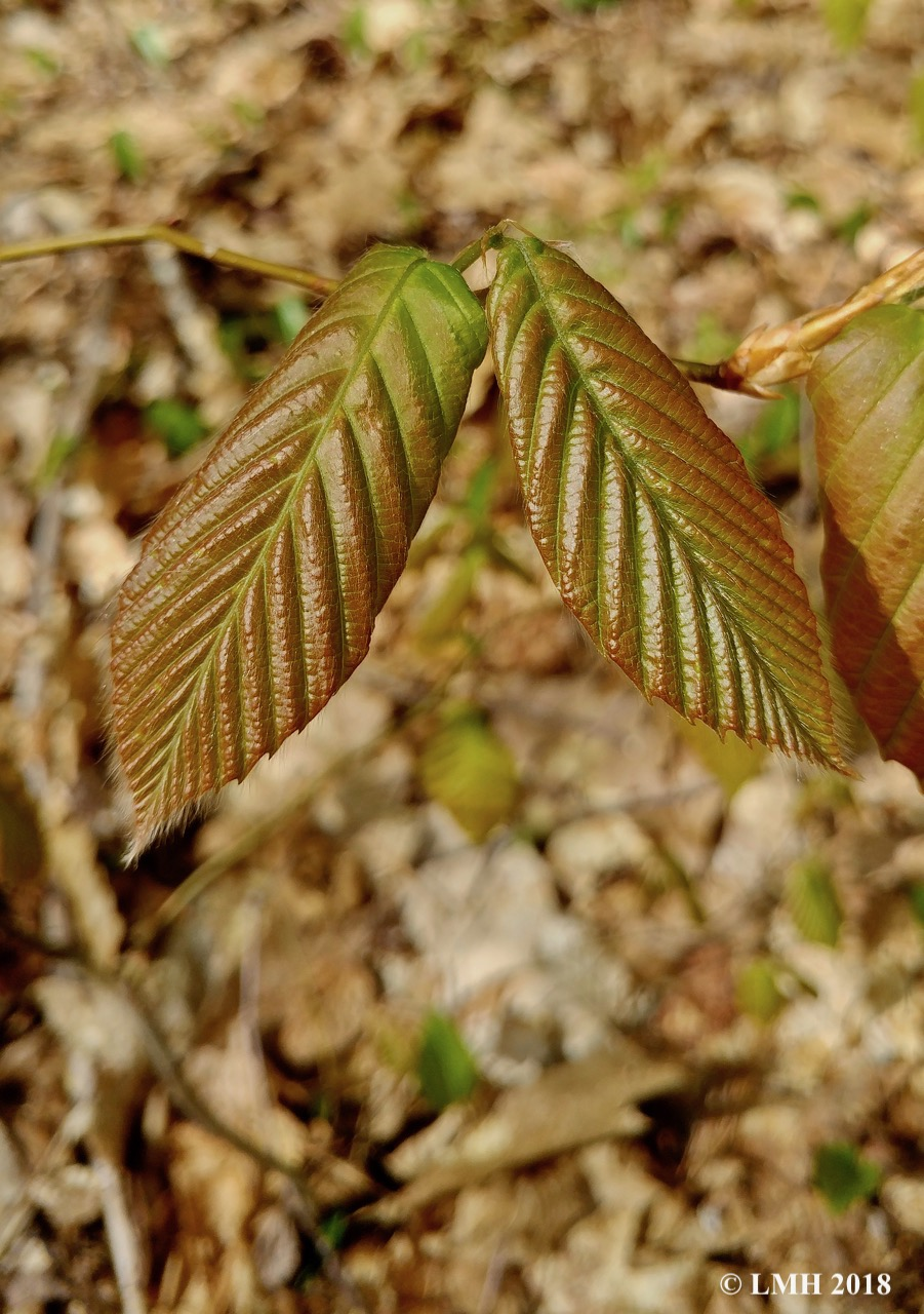 S7-BEECH LEAVES