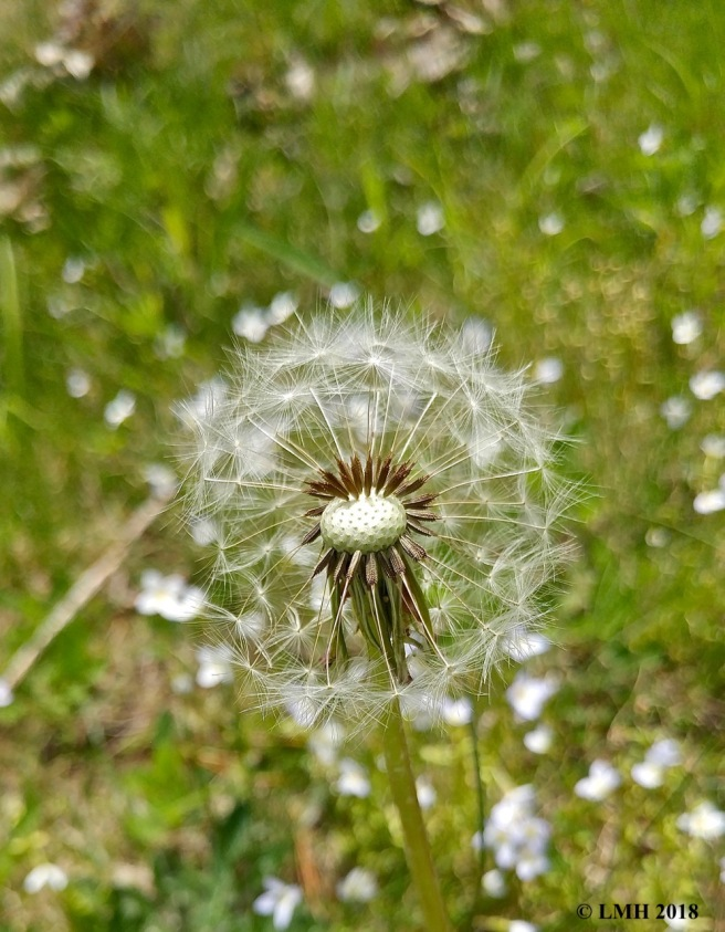 S9-DANDELION SPREADING THE SEEDS