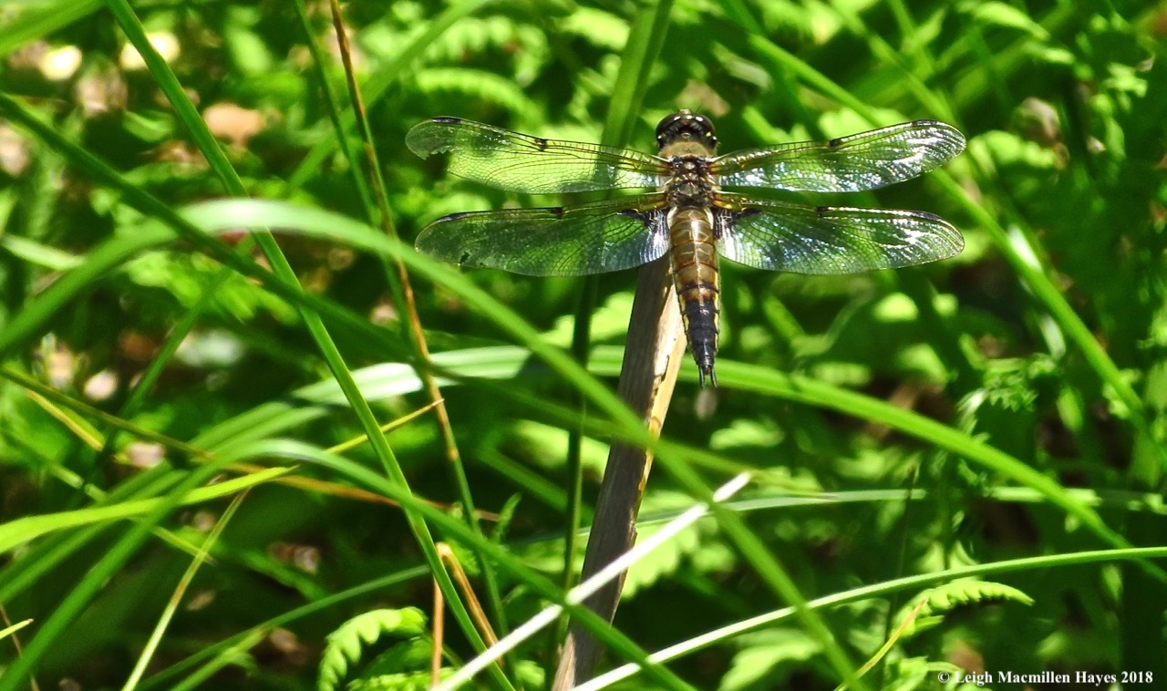 4-four-spotted skimmer