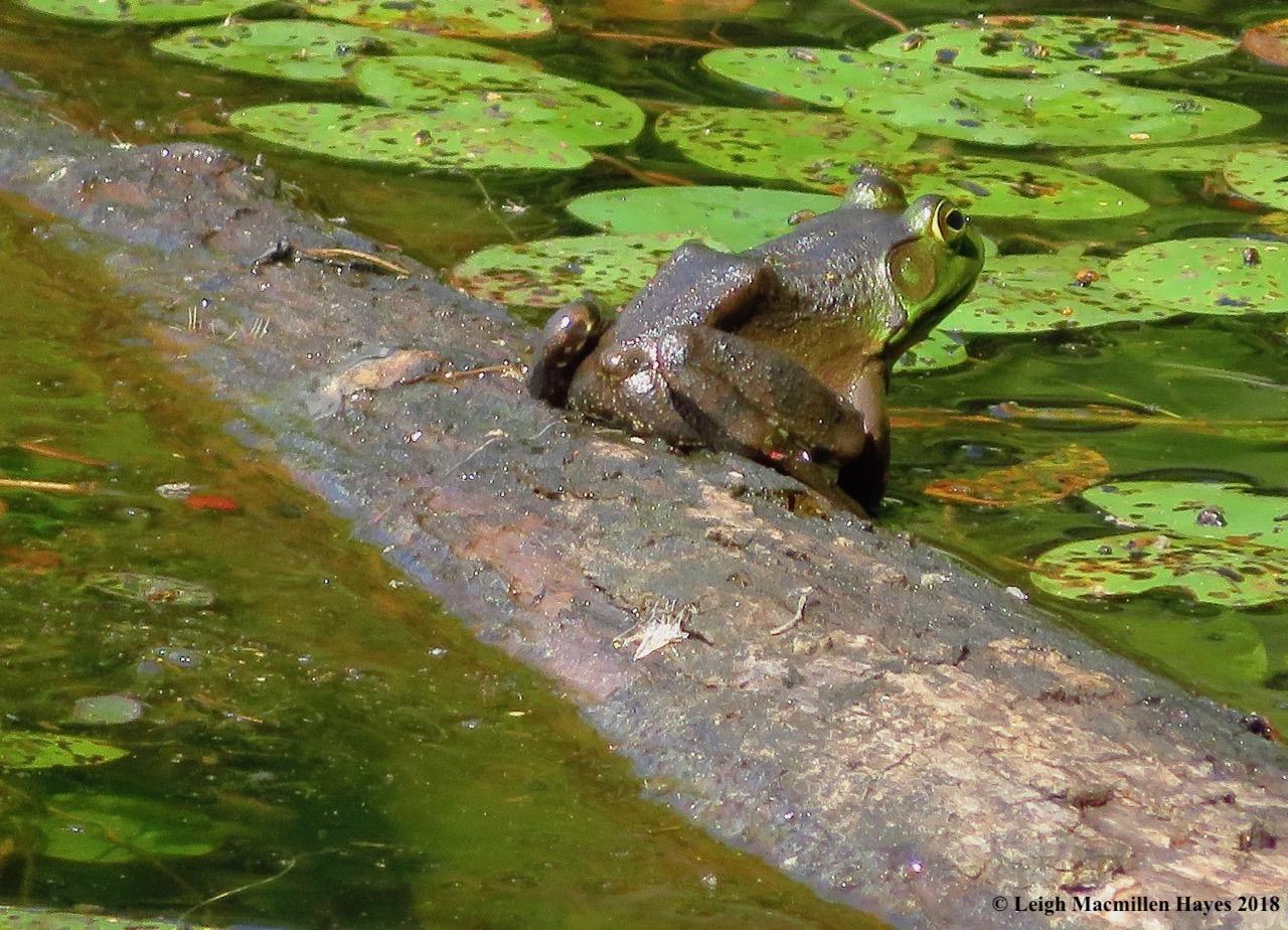 d15-bullfrog