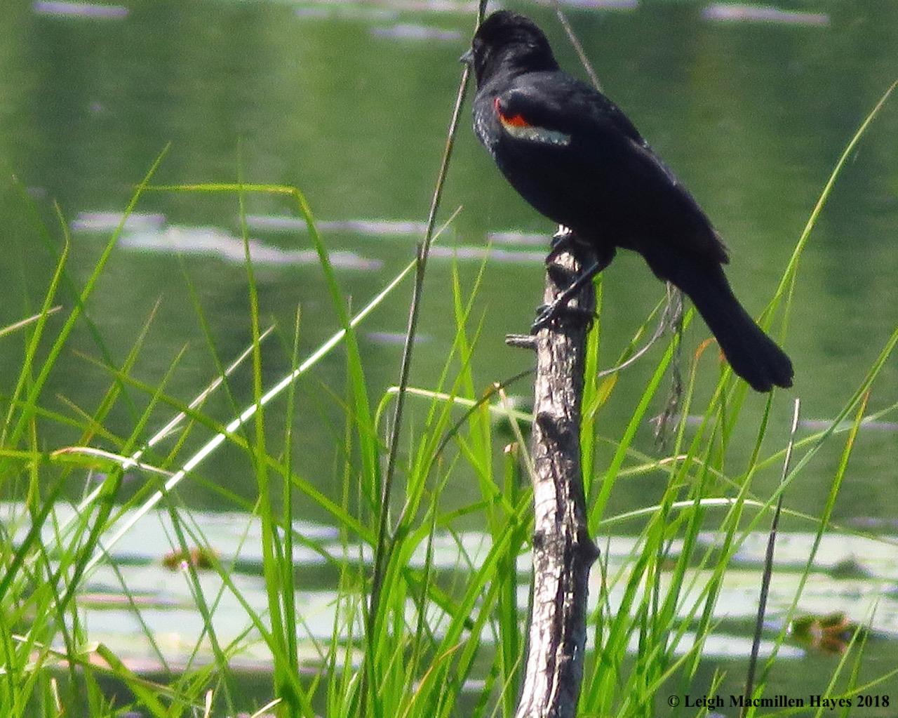 d16-red-winged blackbird