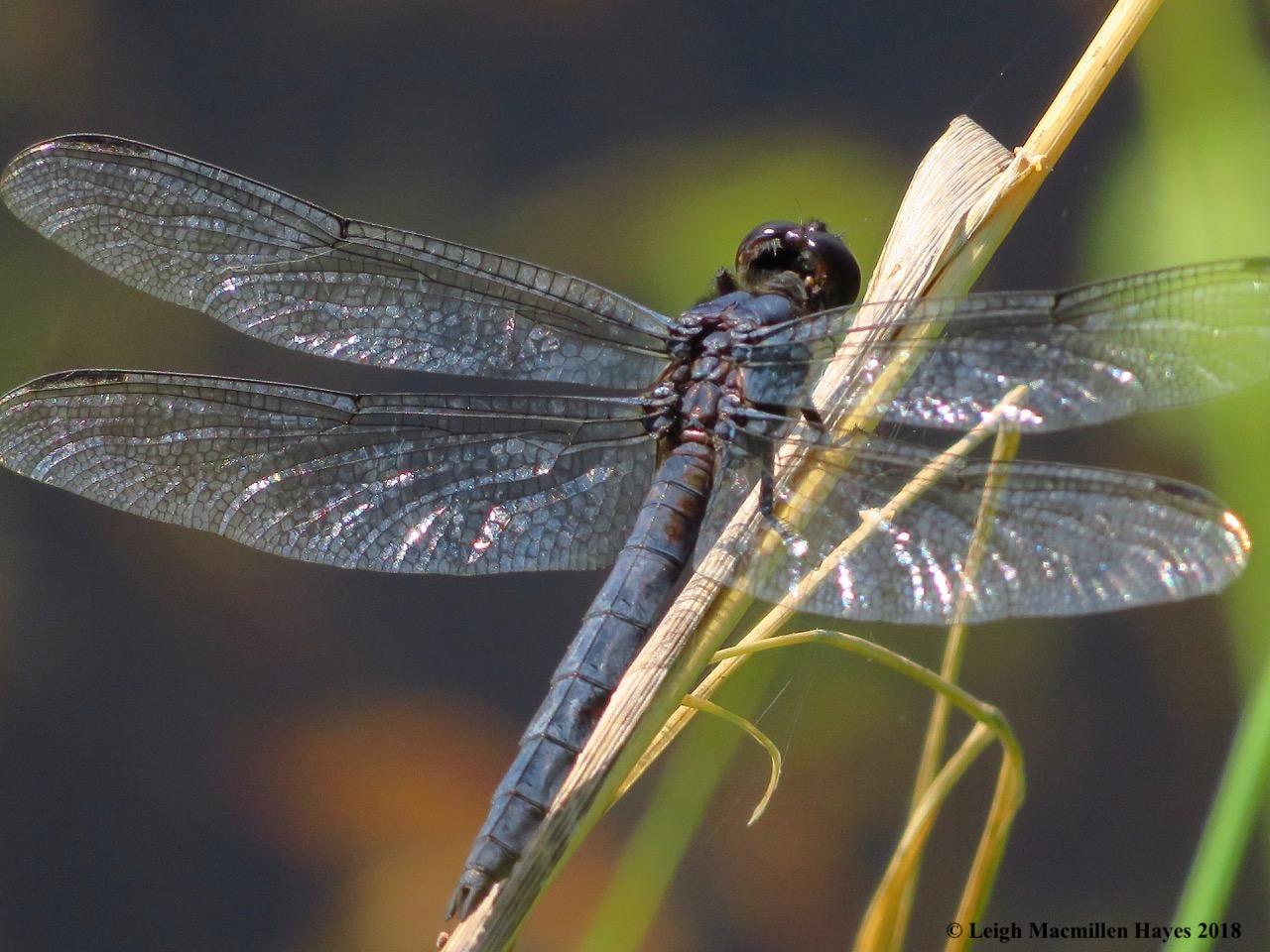 d16-slaty skimmer dragonfly