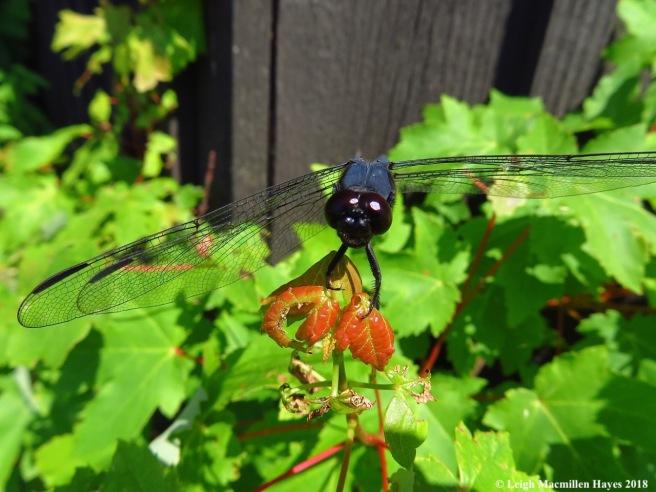 d16a-slaty skimmer dragonfly--black face:brown eyes