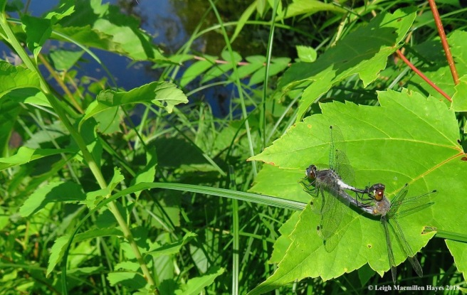 d18-frosted whiteface dragonflies