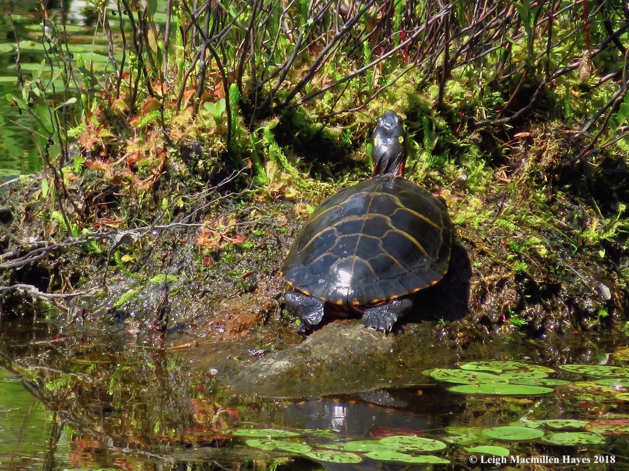 d22-painted turtle