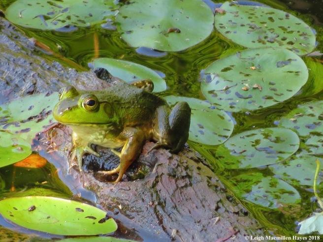 d24-bullfrog