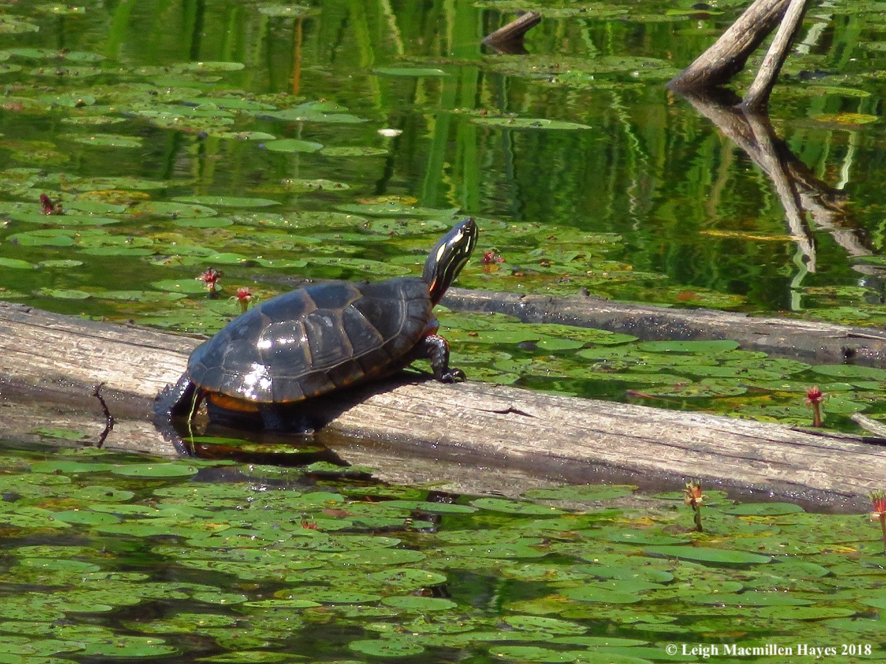 d25-painted turtle