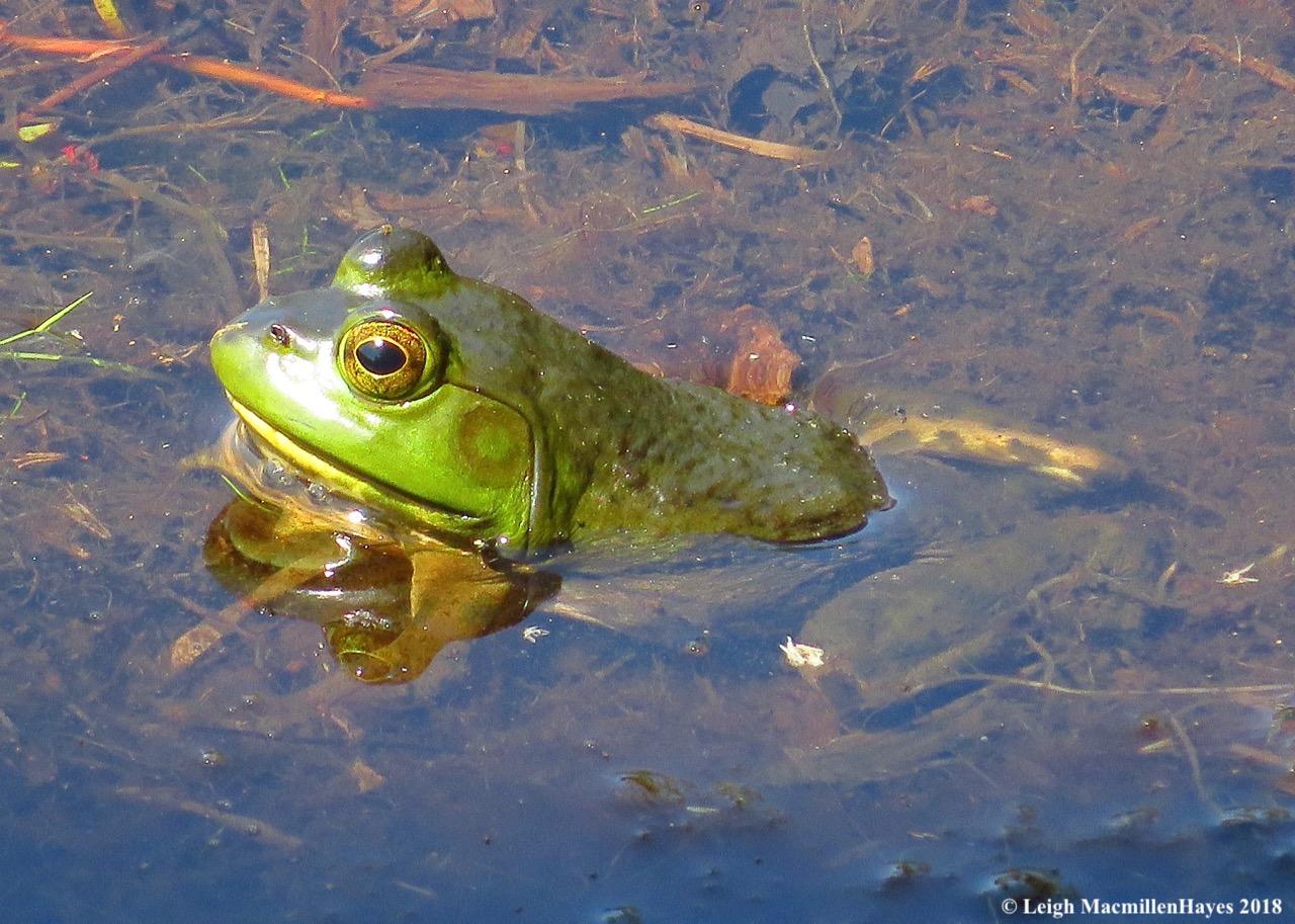 d26-bullfrog