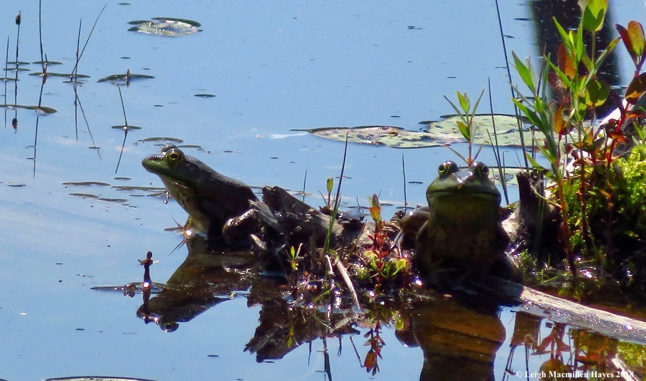 d28-two frogs