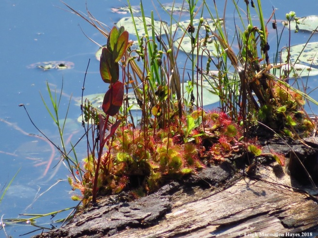 d29-sundew about to flower and marsh st.john's wort