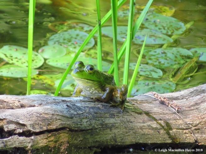 d30-bullfrog