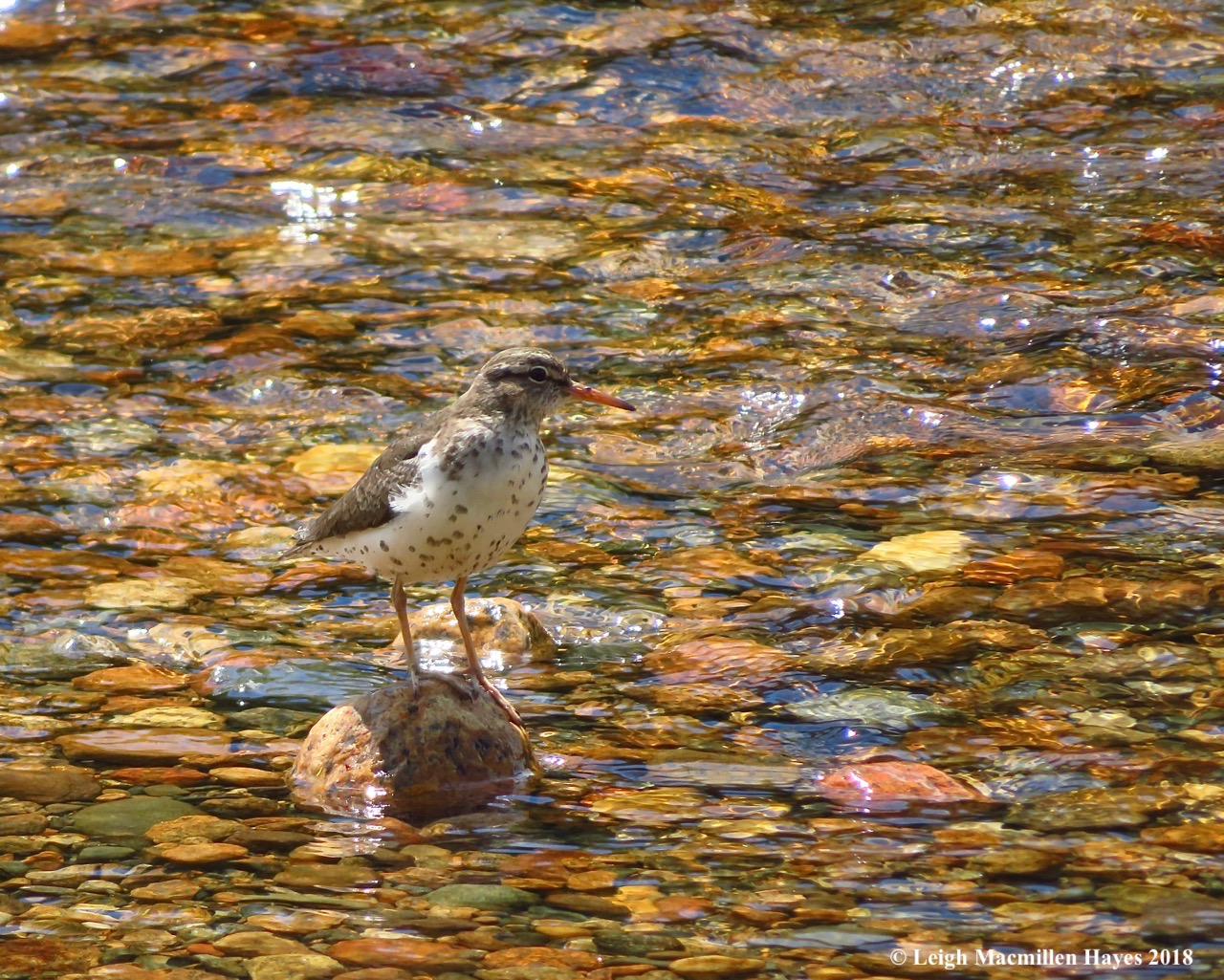 d4, spotted sandpiper