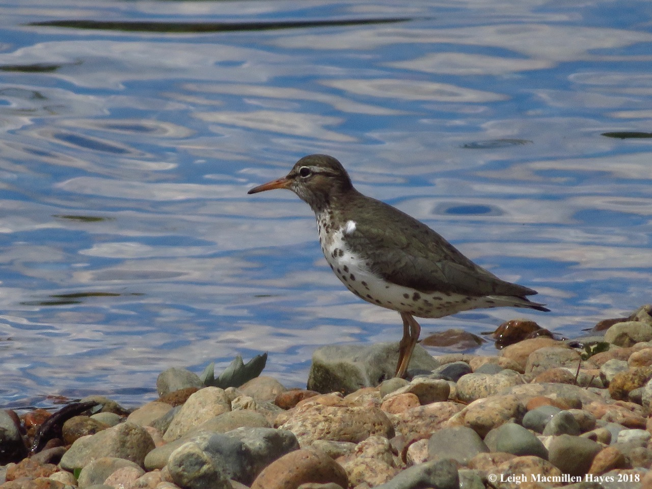 d7-spotted sandpiper