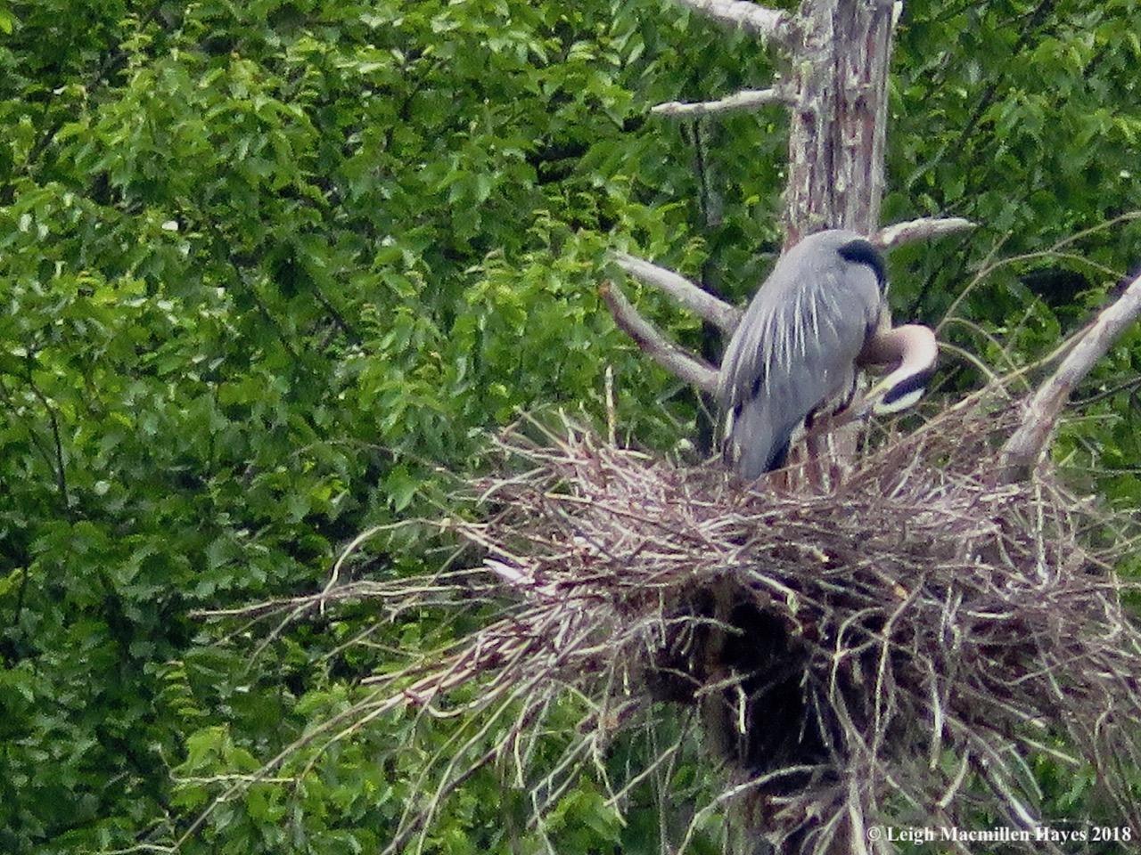 d8-adult heron