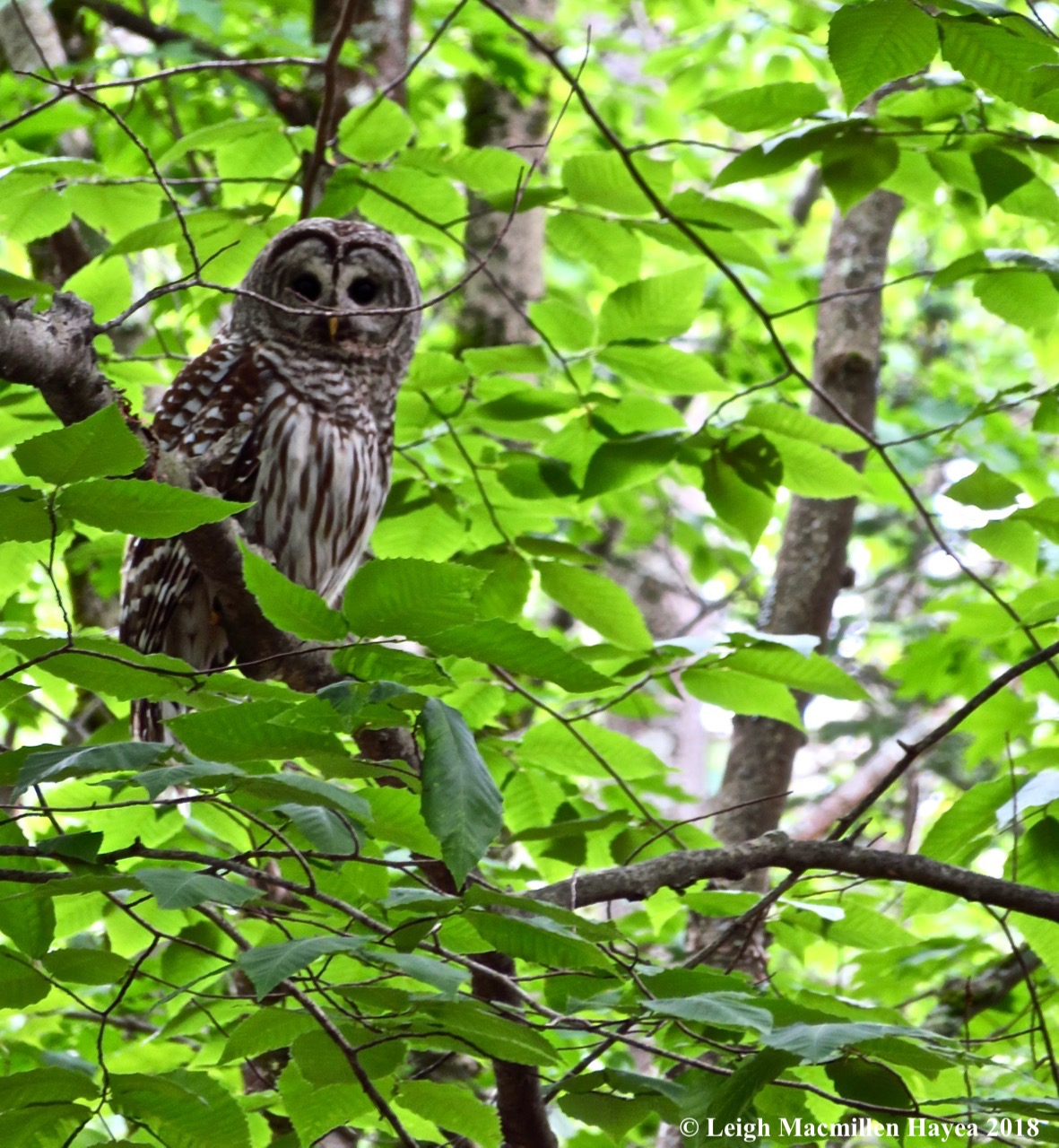 e12-barred owl