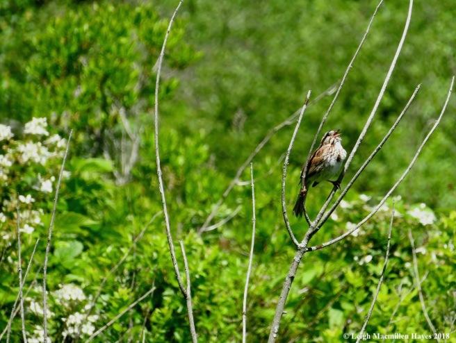 e12-song sparrow