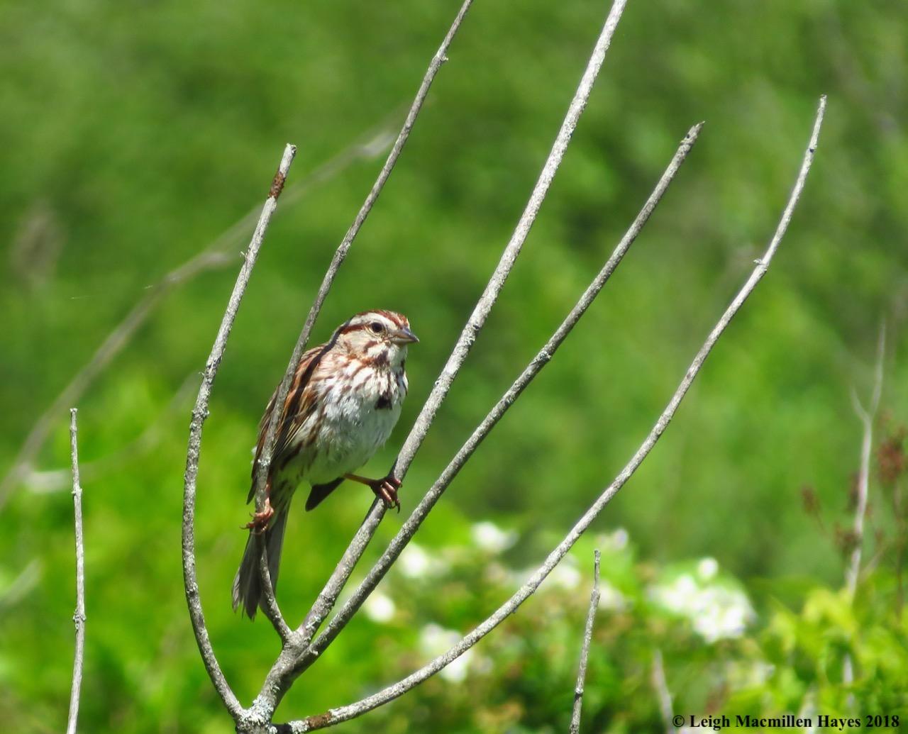 e13-song sparrow