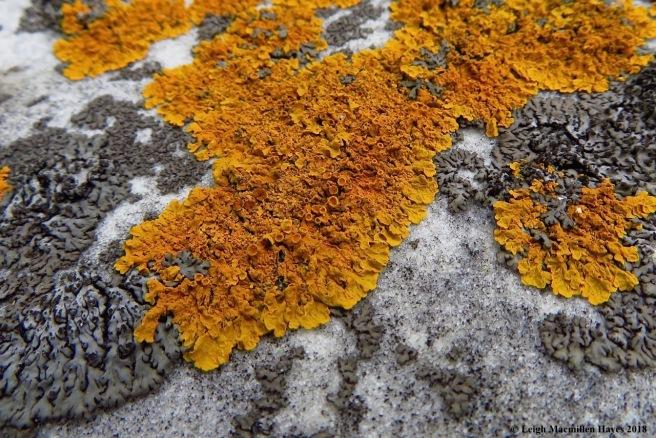e2-sunburst lichen