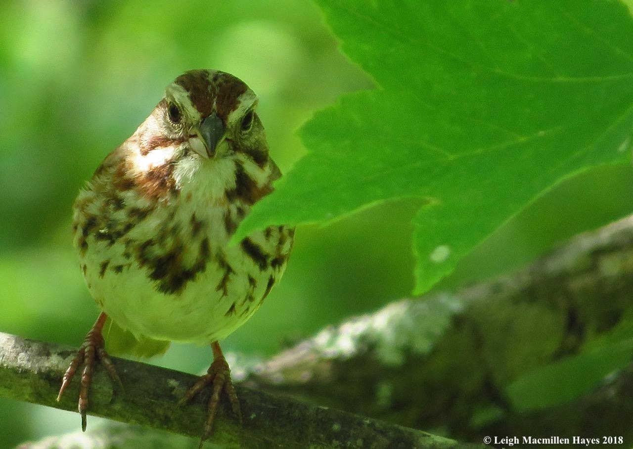 e9a-song sparrow
