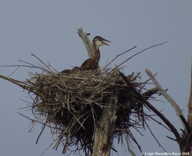h2a-heron chick
