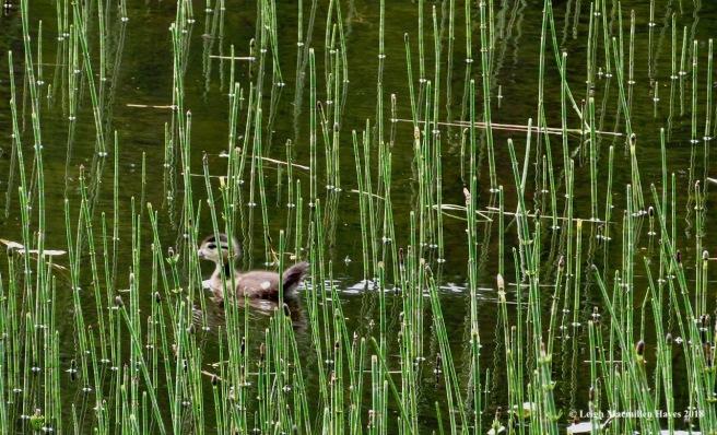 k10-mallard duckling