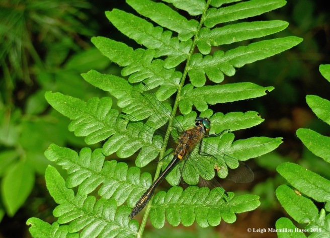 l25-racket-tailed emerald