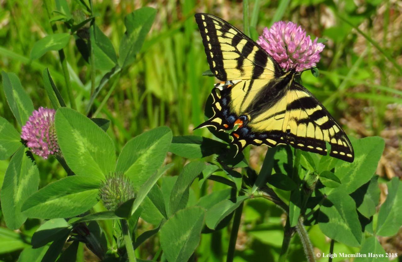 m10-canadian tiger swallowtail