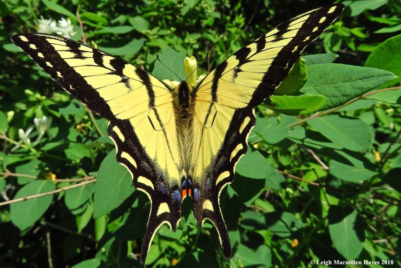 m11-eastern tiger swallowtail