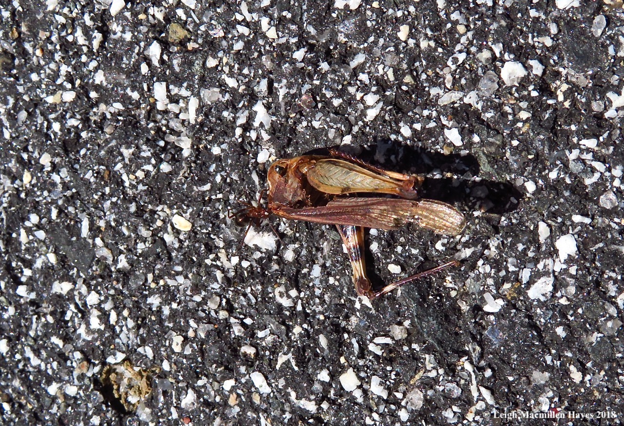 m7-ant dragging grasshopper