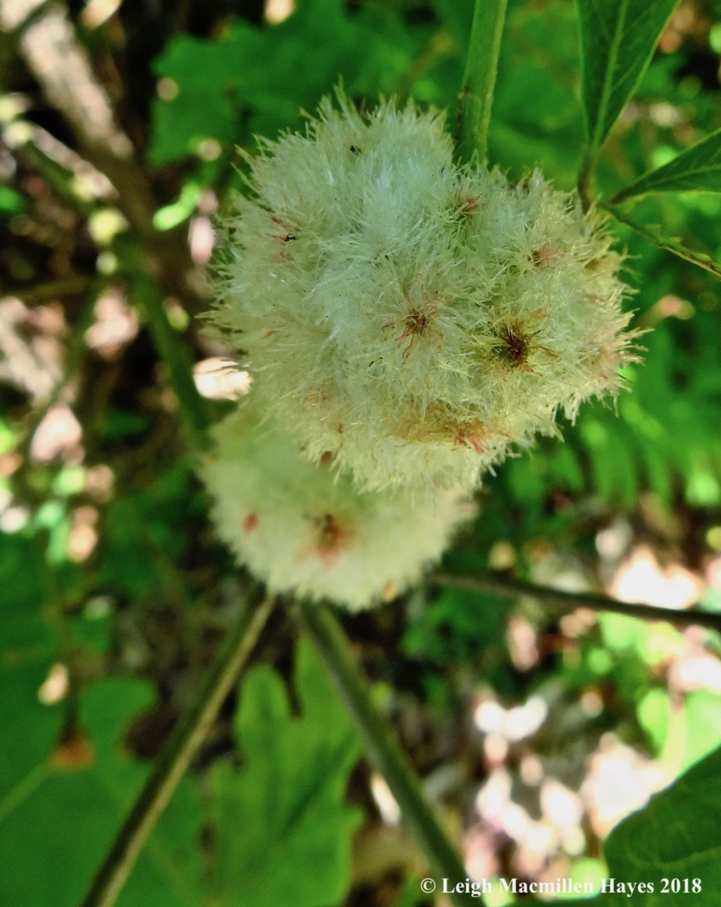 m8-wood sower gall wasp