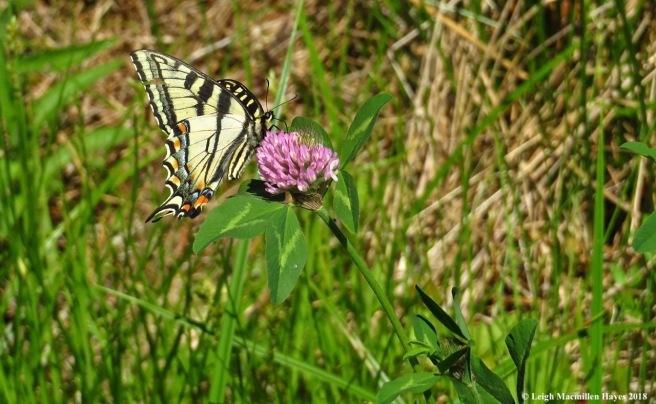 m9-tiger swallowtail
