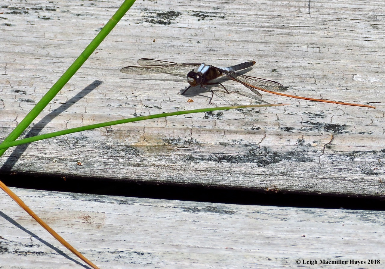 o14-chalk-fronted corporal