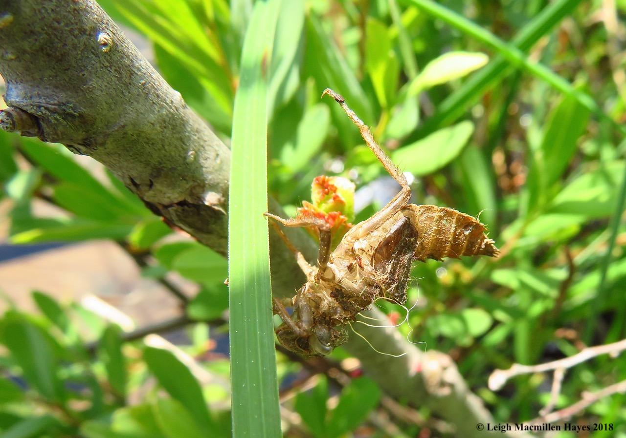 o15-dragonfly exuvia