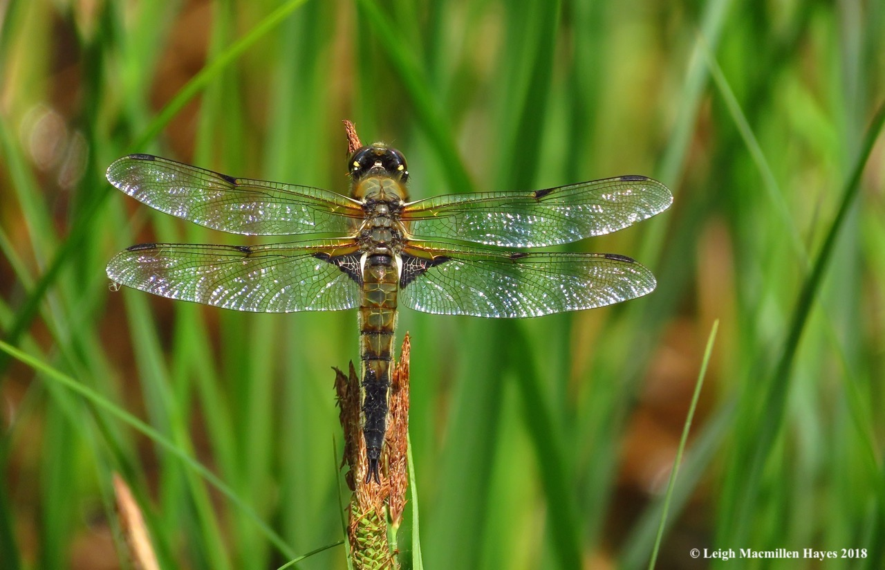 o20-four-spotted skimmer