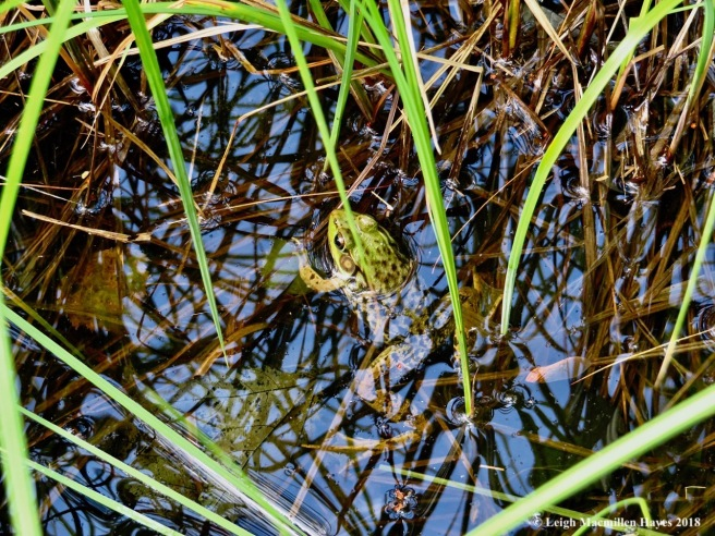 o24-green frog