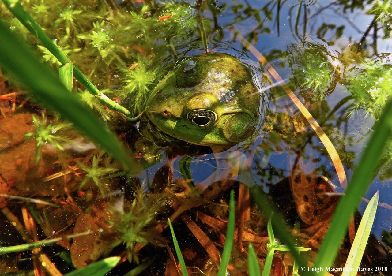 o4-green frog male