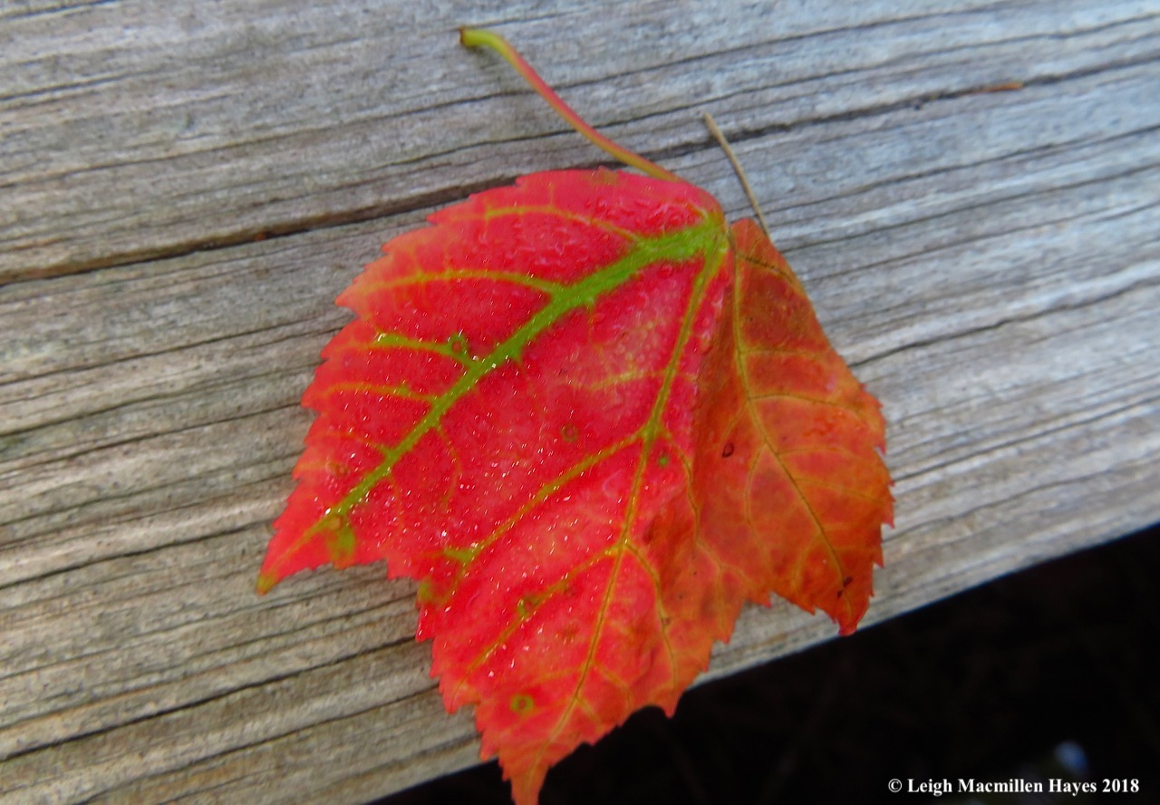 o8-red maple leaf