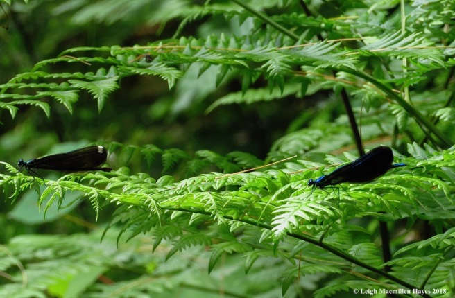 p11-female and male ebony jewelwings