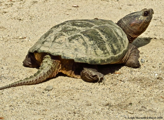 p12-snapping turtle
