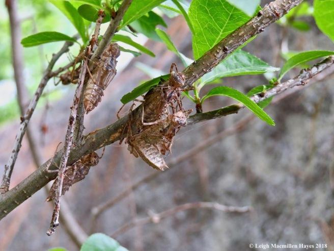 p7-dragonfly exuvia