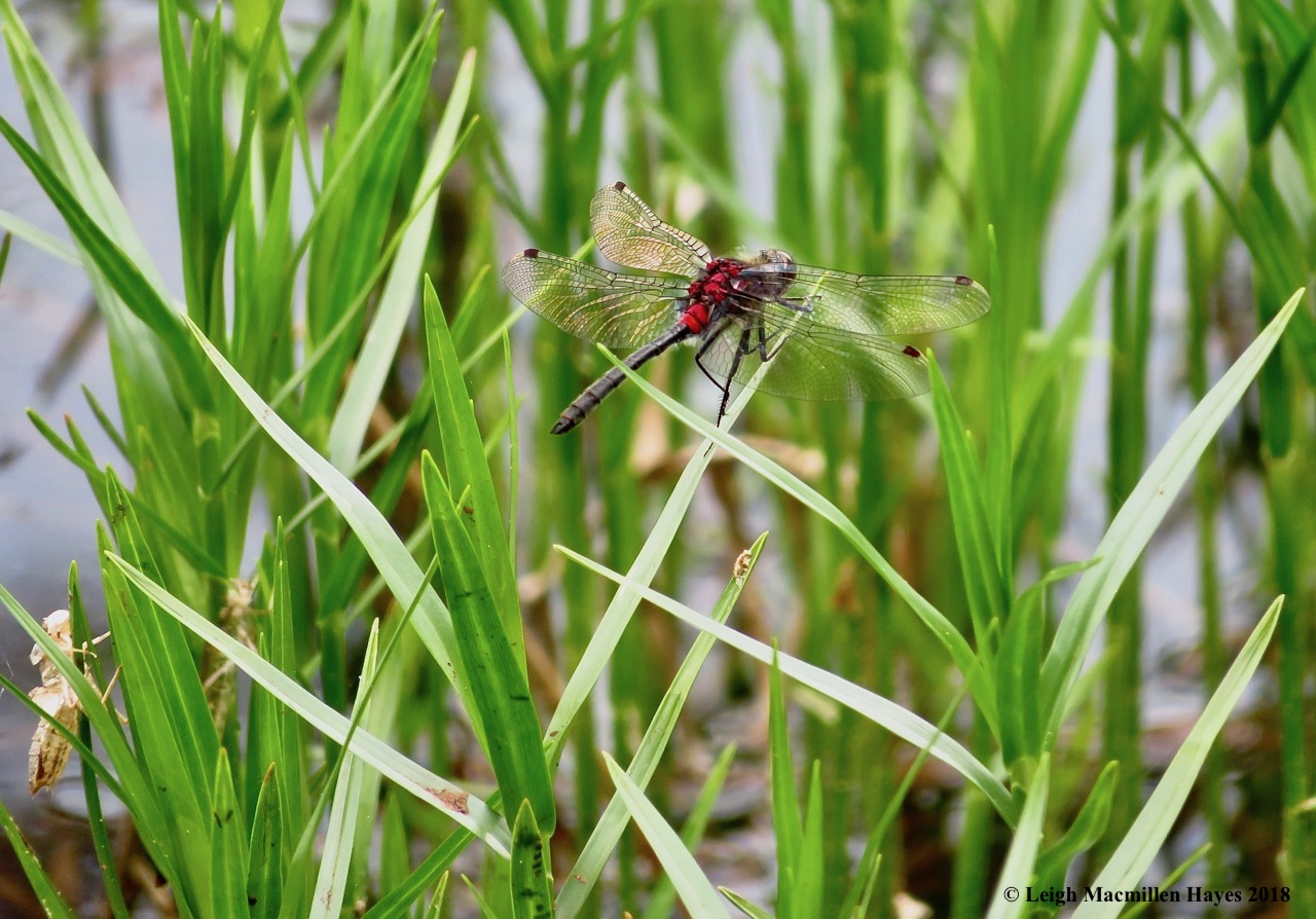 s17-crimson-ringed whiteface dragonfly