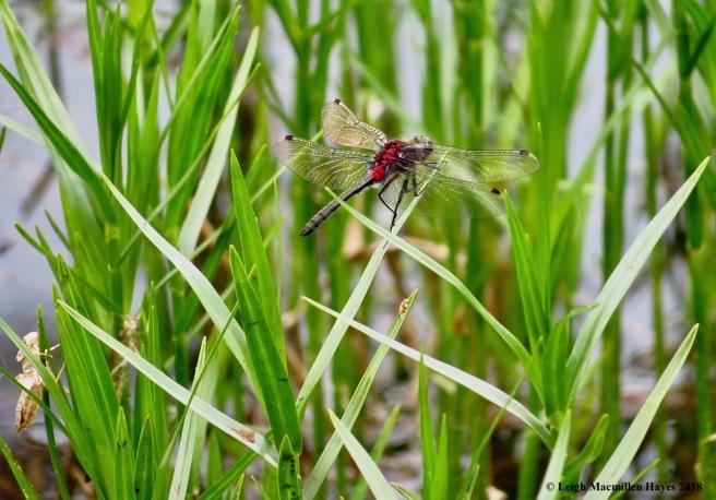 s17-crimson-ringed whiteface dragonfly
