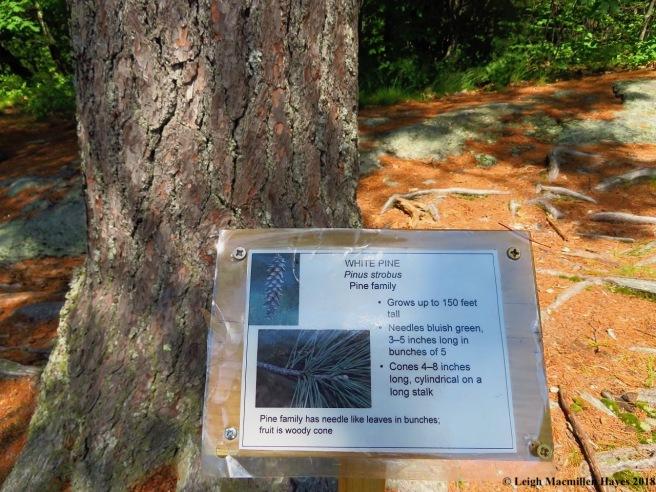 s21-white pine