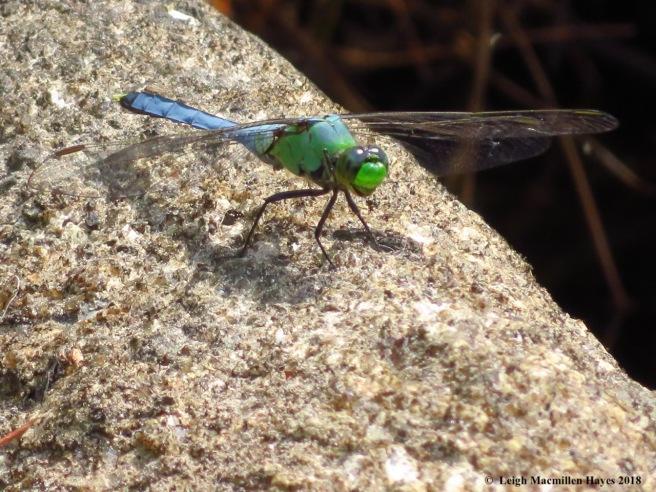12-Eastern Pondhawk Dragonfly