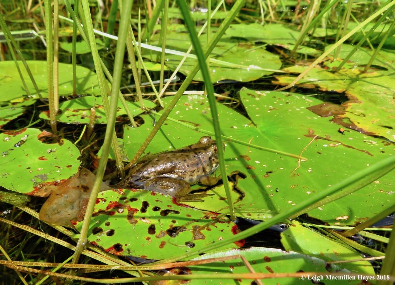 14-bullfrog on lily pad