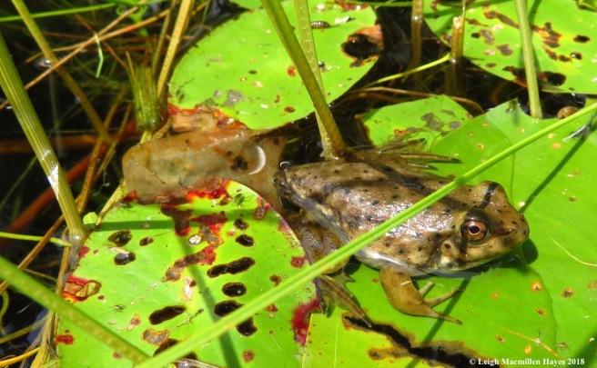 15-bullfrog froglet