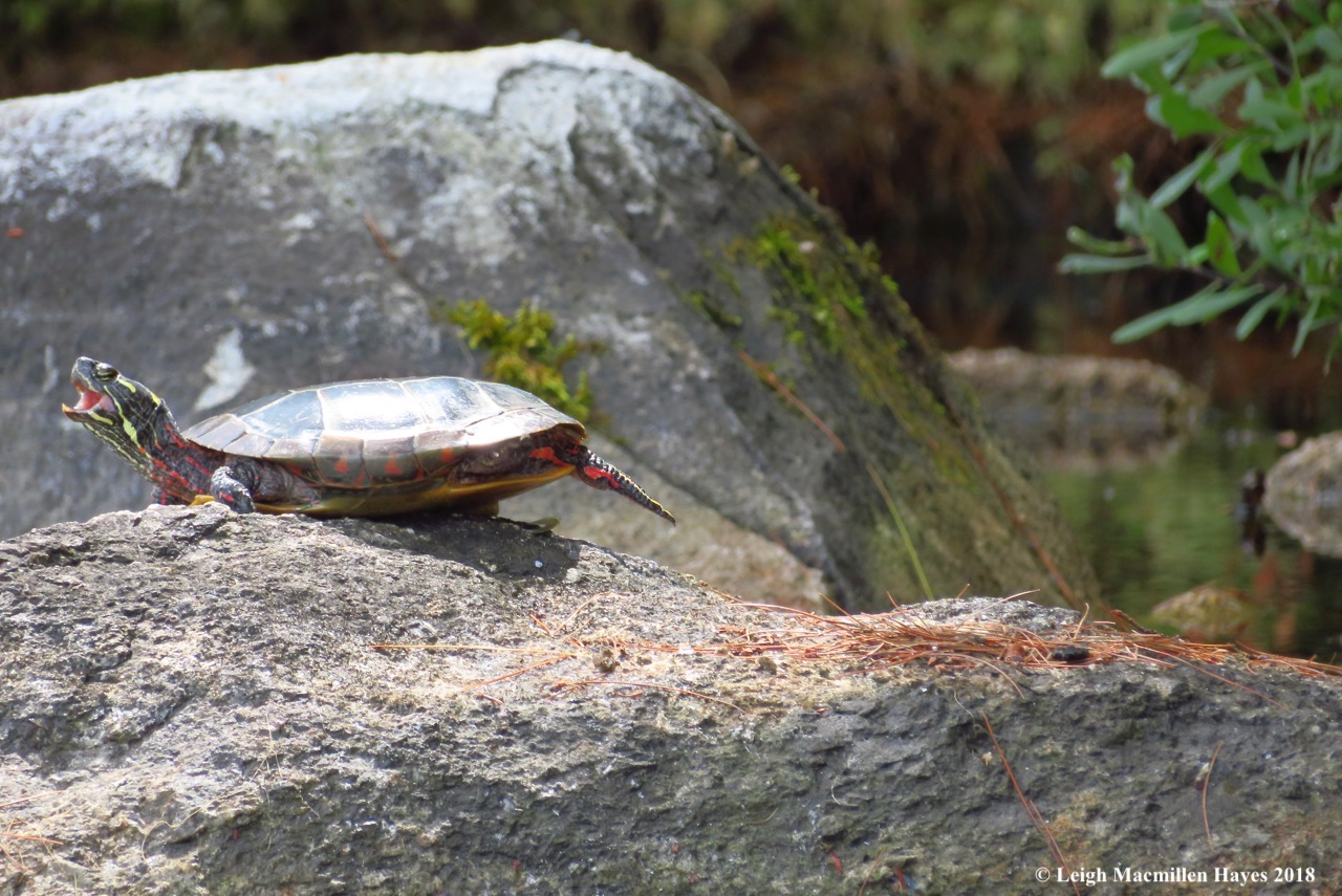 19-painted turtle